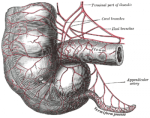 Illustration showing make-up of the human appendix.